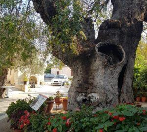 protected Tremythas Tree- Simou