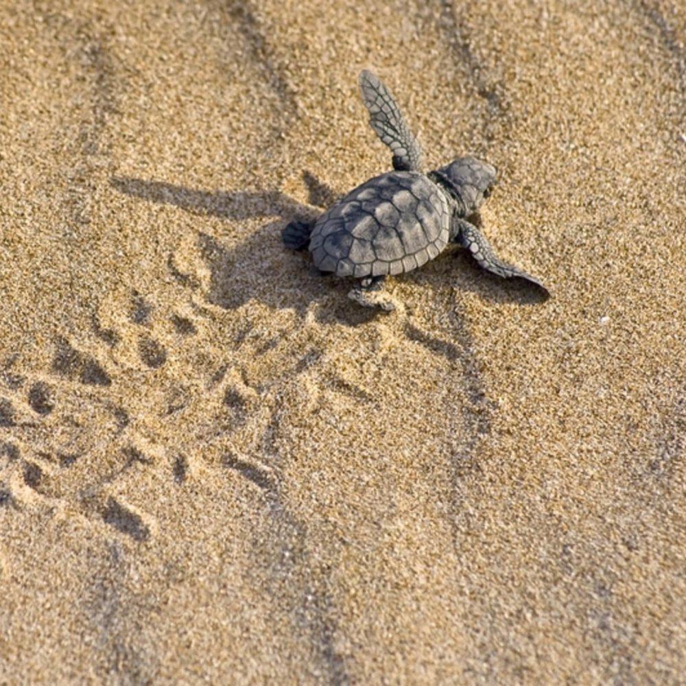 Caretta Caretta Turtle at Lara Beach in Cyprus